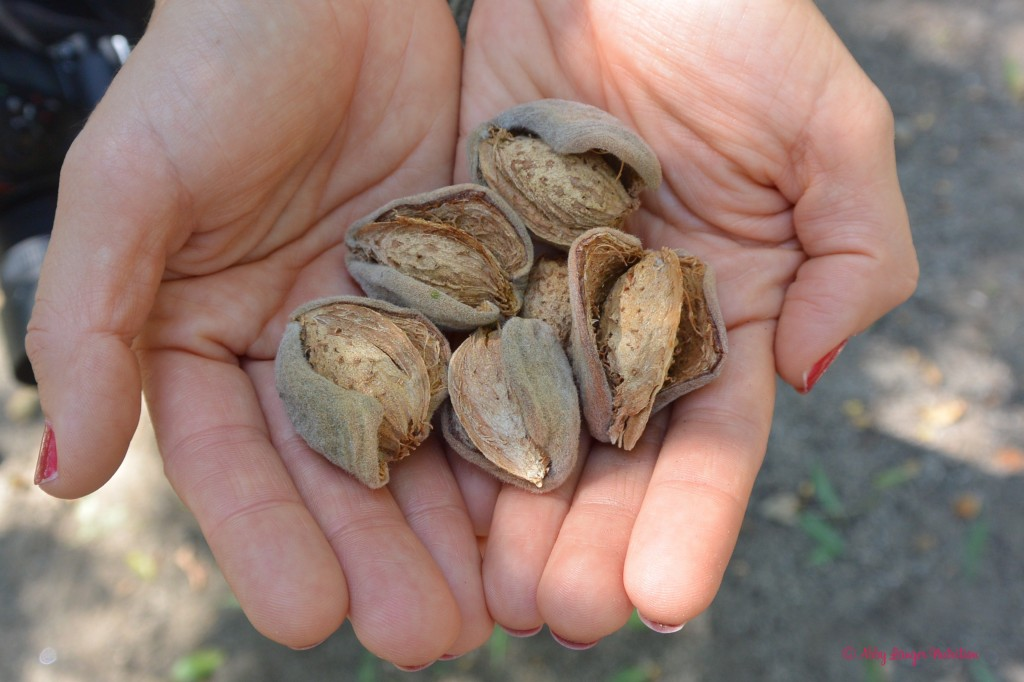 Almond Orchard Hands
