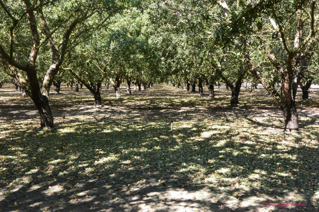 Almond Orchard Rows