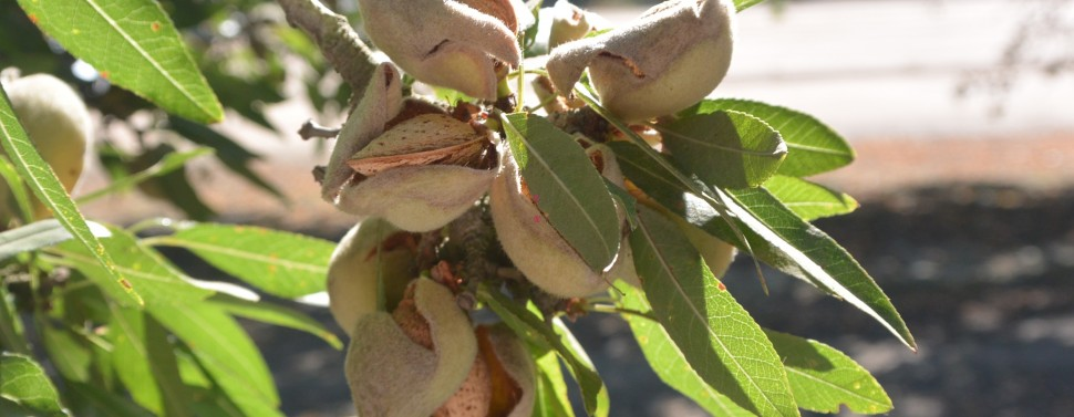 Here are the almonds, in their husks and shells, before they're shaken to the ground during harvesting